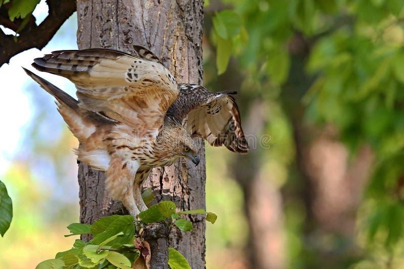 Ładny ptaka drapieżnego hindus Sikra w natury siedlisku w India fotografia stock