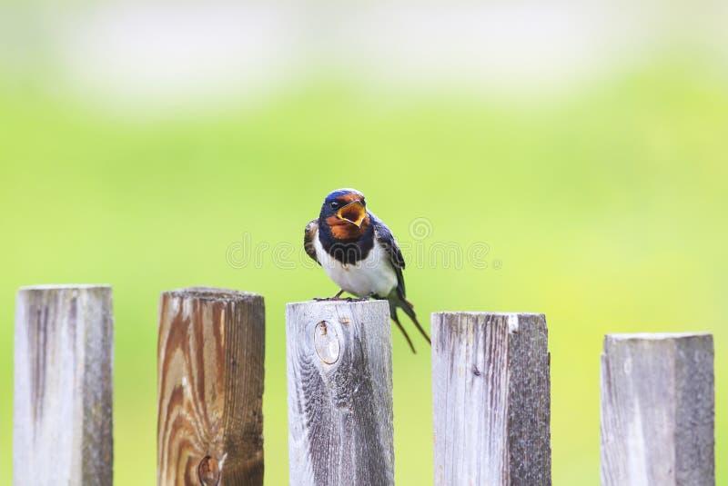 Ładny ptasi stajni dymówki obsiadanie na starym drewnianym ogrodzeniu i śpiewa obrazy stock