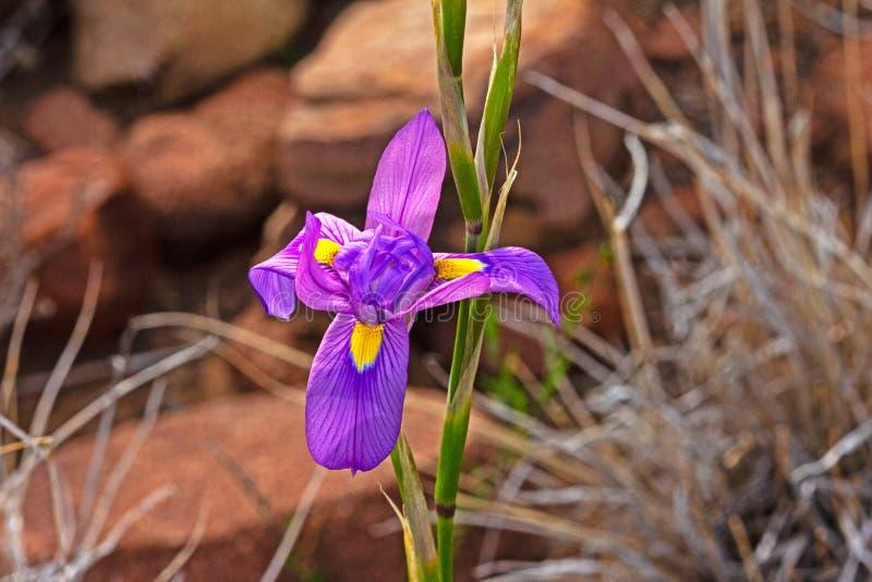 Ładny Purpurowy Irysowy Morea Wildflower obraz royalty free