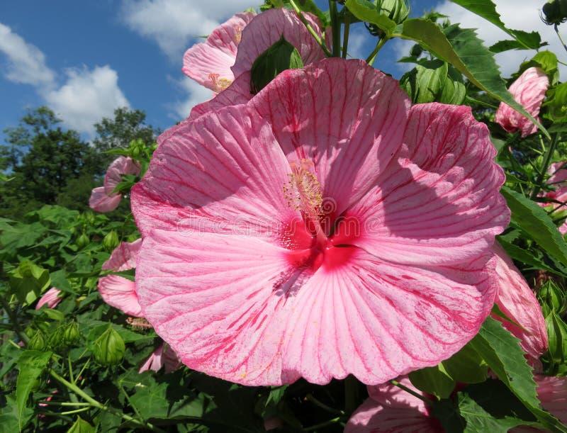 Ładny Różowy lato poślubnika kwiat zdjęcia stock