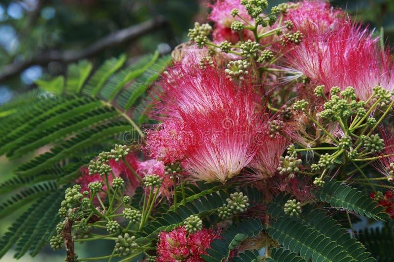 Ładny Różowy mimozy drzewo obrazy royalty free