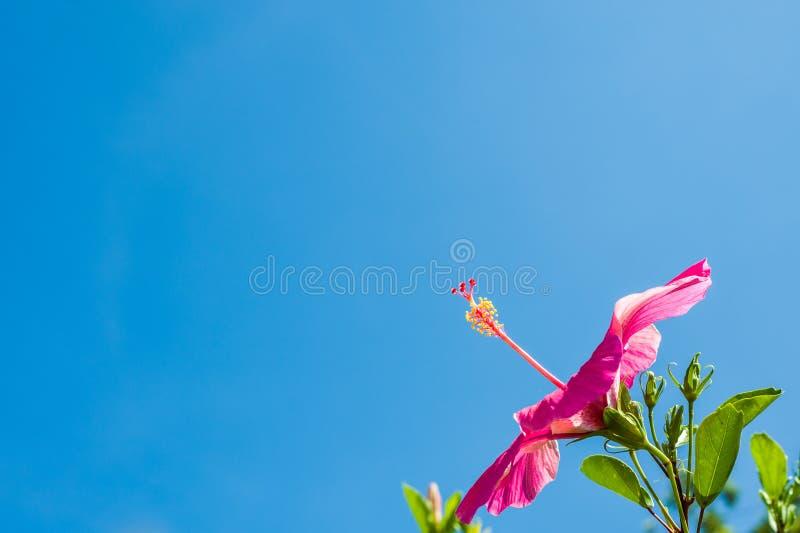 Ładny Różowy poślubnik zdjęcie royalty free