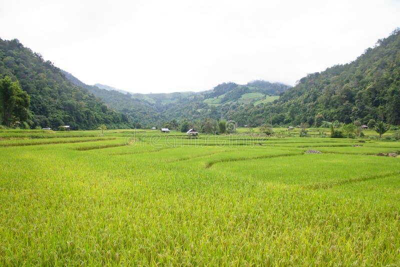 Ładny ryżu taras zdjęcia stock