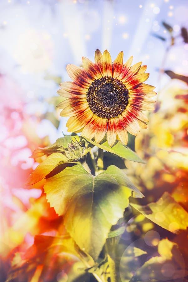 Ładny słonecznik w ogródzie zdjęcia royalty free