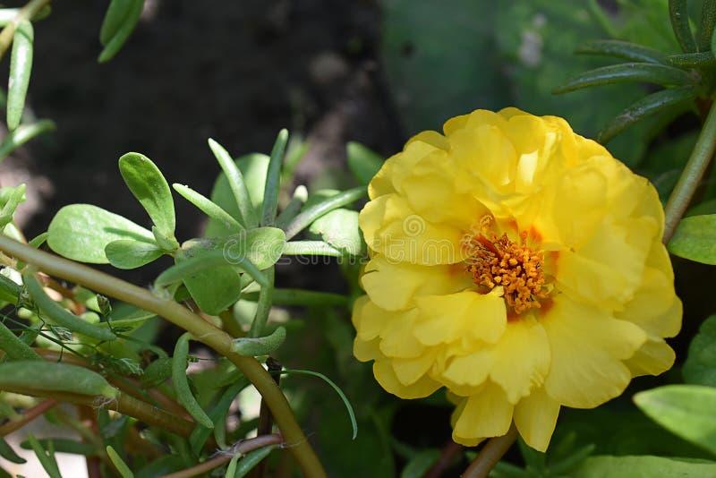 Ładny yellowl lata kwiatu zakończenie up w mój ogródzie fotografia royalty free