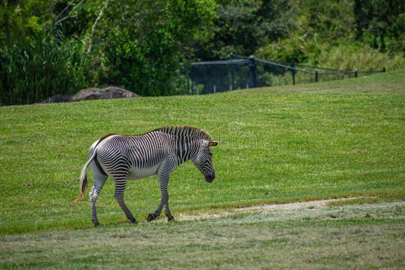 Ładny zebry odprowadzenie w zielonej łące przy Busch ogródami 7 obrazy royalty free