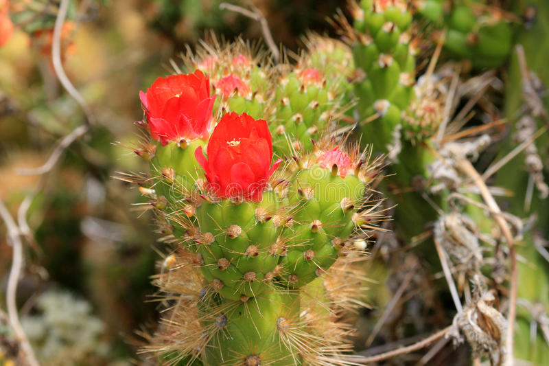 Ładny zielony kaktus z czerwonym okwitnięciem zdjęcie royalty free