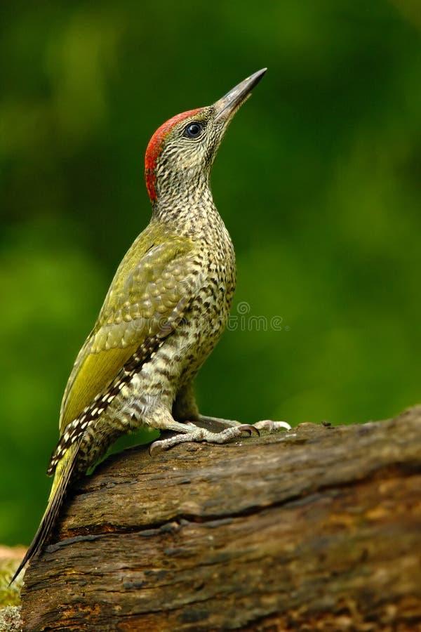 Ładny zielony ptasi Zielony dzięcioł, Picus viridis, siedzi na drzewnym bagażniku z żółtym liszajem, ptak w natury siedlisku, Węg obraz royalty free