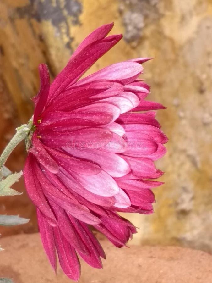 Ładny zmrok menchii kwiat zdjęcia stock