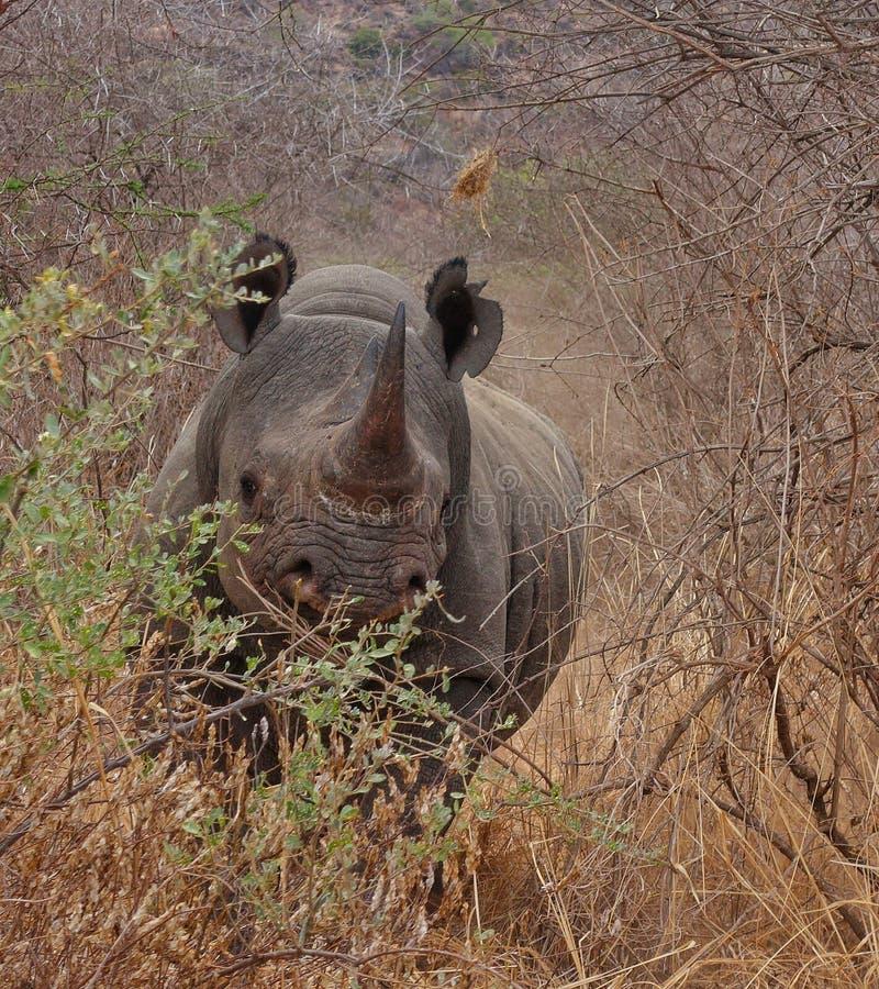Ładuje nosorożec, Tsavo Zachodni park narodowy, Kenja, Afryka fotografia royalty free