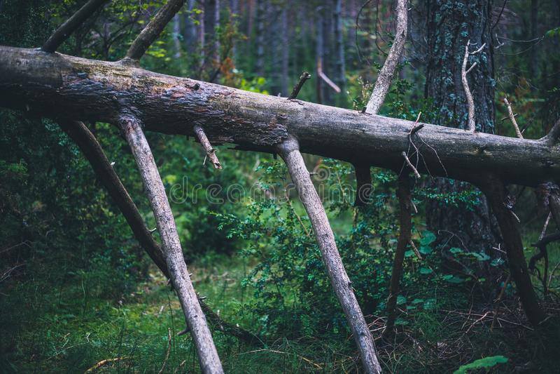 Łamana nieżywa sosna w lesie w Hiszpania obraz stock
