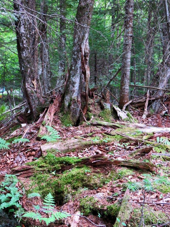 Łamani drzewa zakrywający mech i liszaj w lesie obrazy royalty free