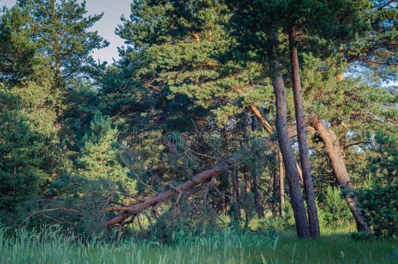 Łamani i deponujący pieniądze drzewa w sosnowej nodze po huraganu Silny wiatr niszczył kilka drzewa zdjęcia stock