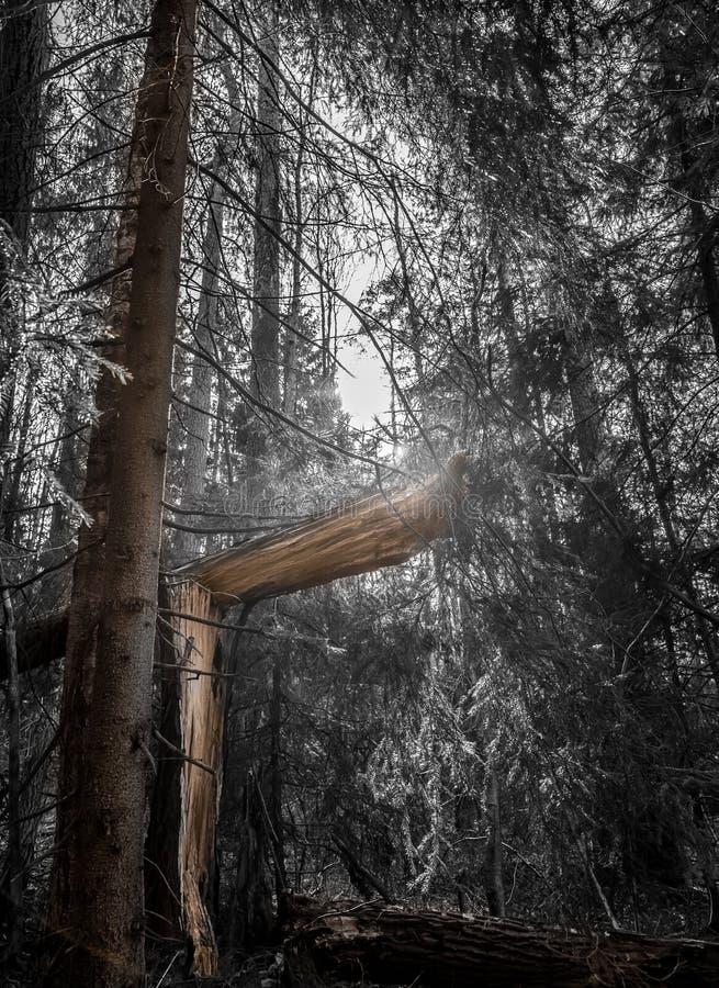 Łamany drzewo fotografia royalty free
