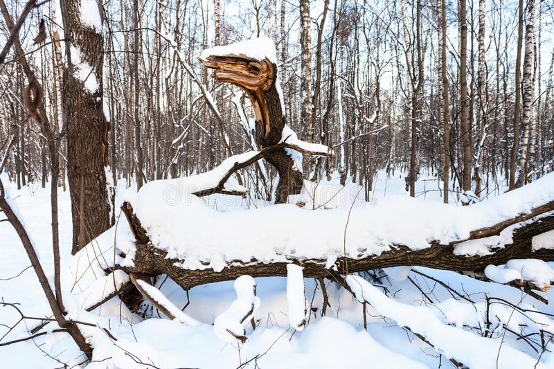 Łamany drzewo kształtujący jak bajecznie wąż w lesie obrazy royalty free