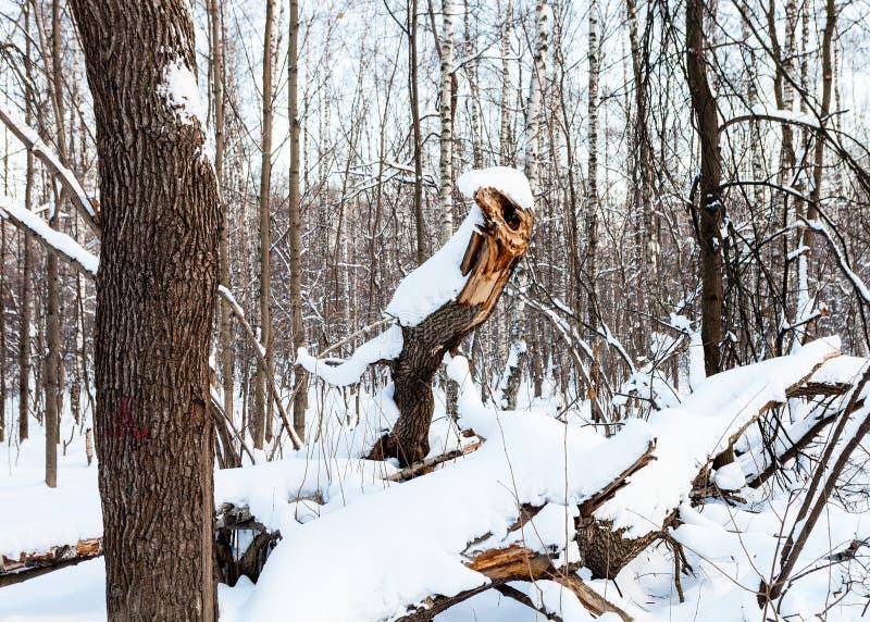 Łamany drzewo kształtujący jako bajecznie smok w lesie obraz royalty free