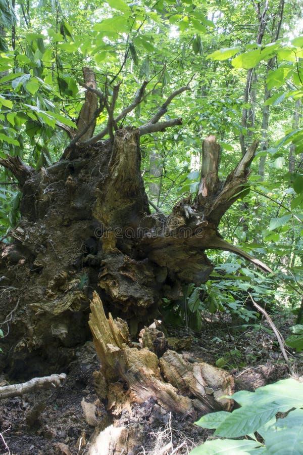 Łamany drzewo otaczający lata greenery zdjęcie stock