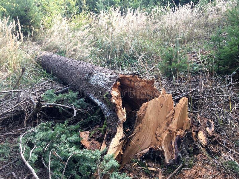 Łamany drzewo po wiatru obraz royalty free