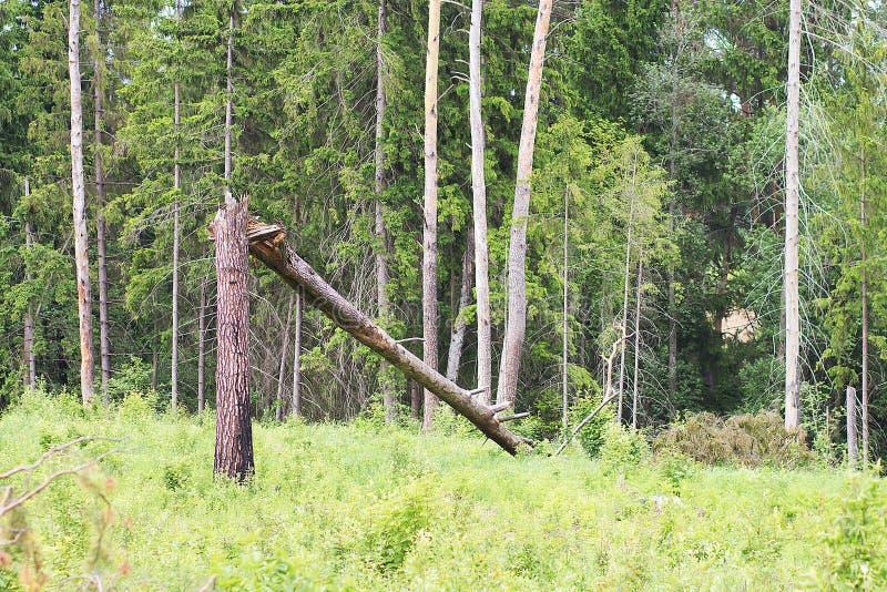 Łamany drzewo w połówce fotografia royalty free