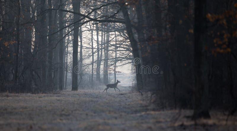 Łania w lesie w zima czasie obraz royalty free