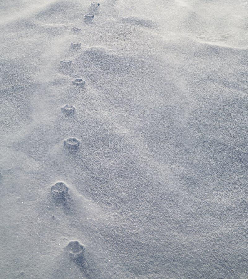 Łapa drukuje ulgi w podmuchowym śniegu fotografia stock