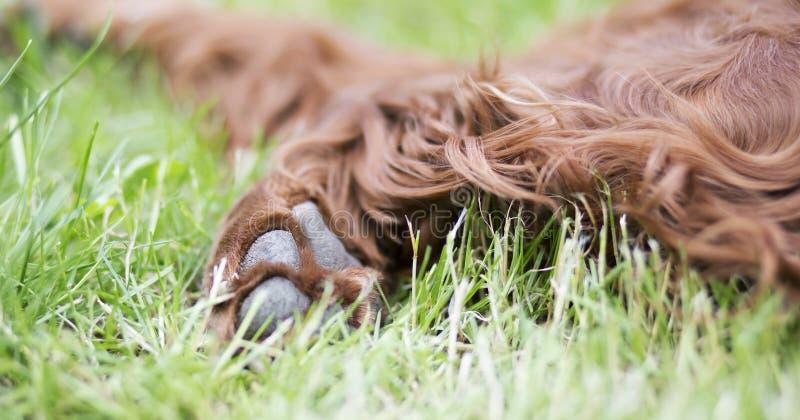 Łapa i miękkiej części futerko śliczny Irlandzkiego legartu zwierzęcia domowego pies zdjęcia royalty free