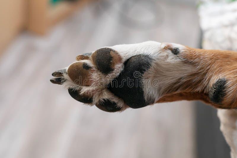 Łapa pies traken Appenzeller Sennenhund zdjęcia royalty free