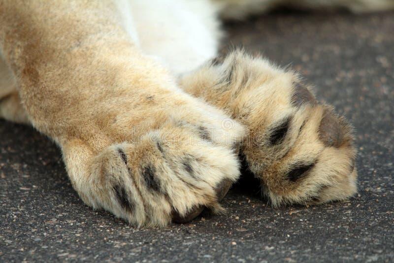 Łapy lionowe obraz stock