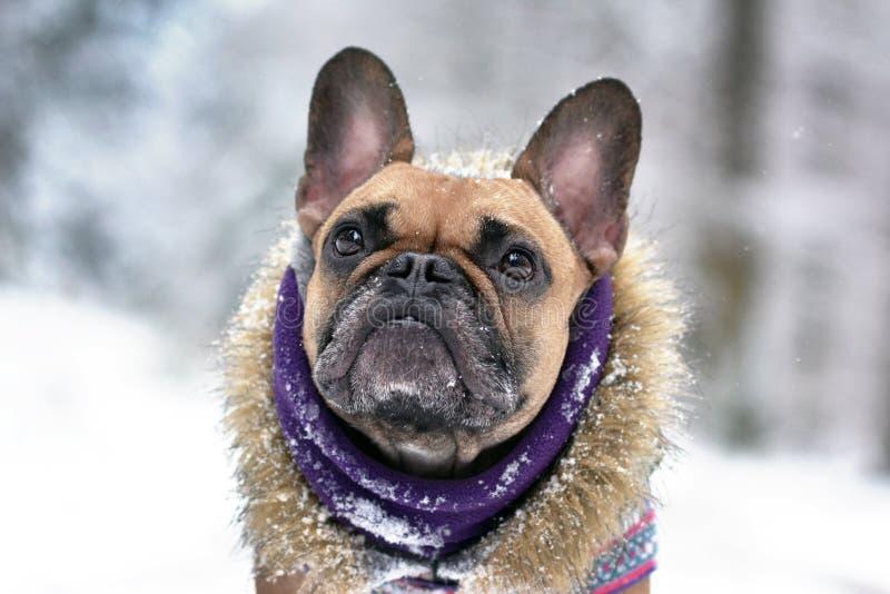 Łasi się Francuskiego buldoga psa z zima szalikiem i futerkowym żakietem w zima śniegu krajobrazie zdjęcie royalty free