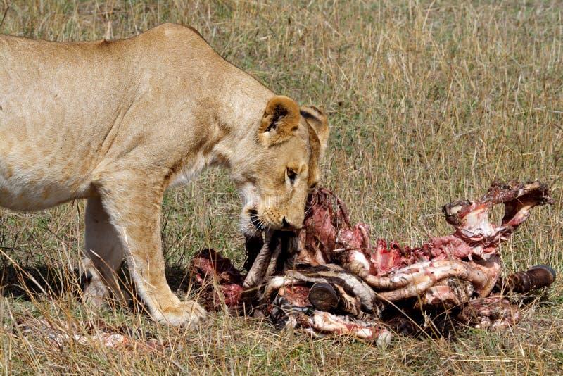 łasowania żeńskiego Kenya lwa kobylia masai zebra obraz stock