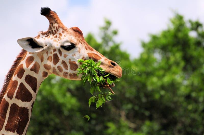 łasowania żyrafy liść obraz stock