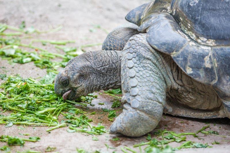Łasowania Galapagos żółw obraz stock