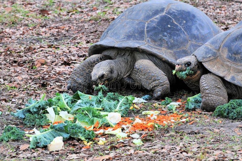 łasowania Galapagos gigantyczni tortoises obrazy royalty free
