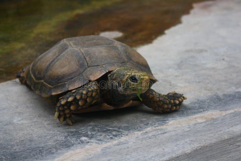 Łasowania Tortoise obrazy stock