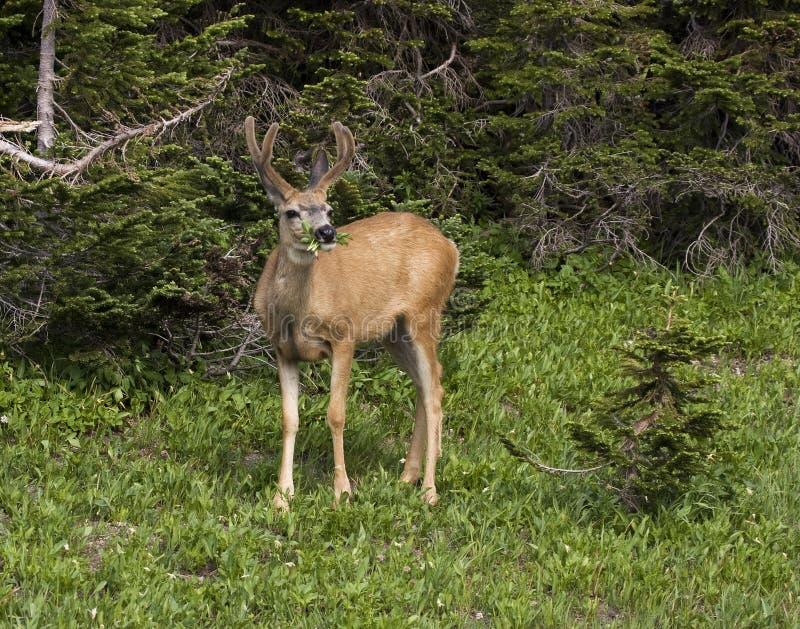 łasowanie jeleni muł obrazy royalty free