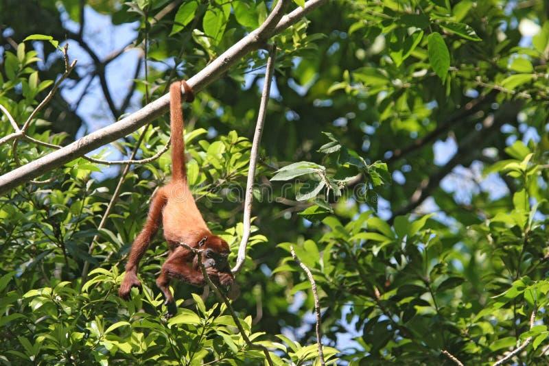 Łasowanie wyjec czerwona małpa, Kolumbia fotografia royalty free