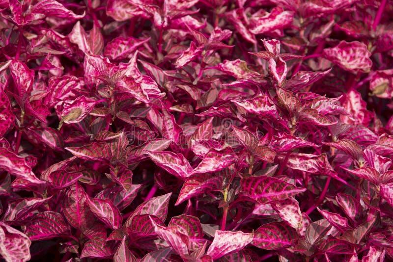 Łata różowi jem patki liścia caladiums fotografia royalty free