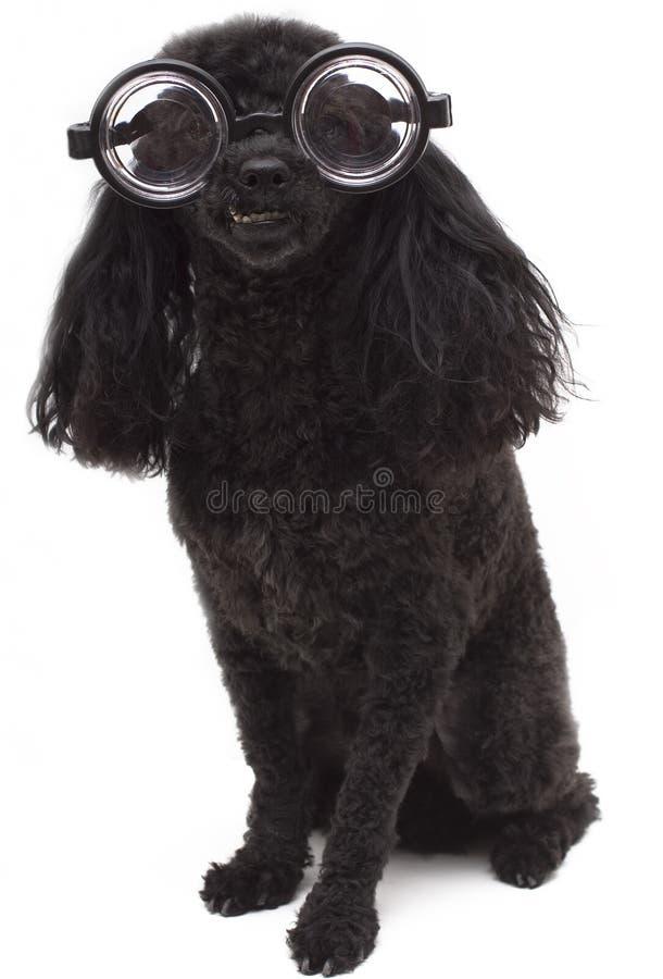 łebski pies obraz royalty free