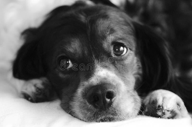 Łgarska psia słodka twarz obraz stock