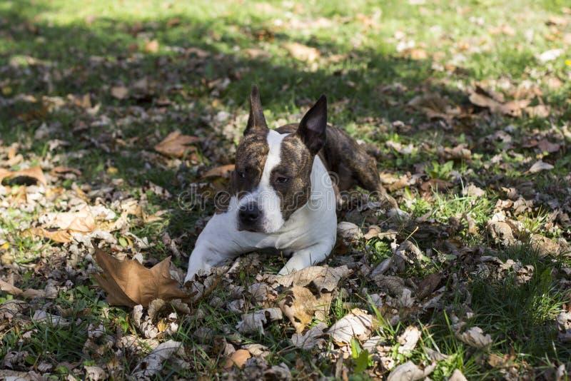 Łgarski puszka pies obrazy stock