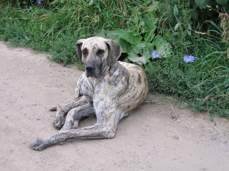 Łgarski stary pies zdjęcie royalty free