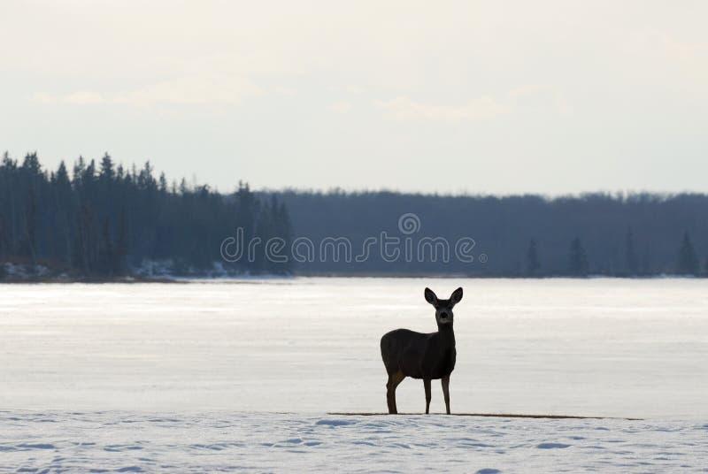 łoś na wyspy parku narodowego zimy. fotografia royalty free