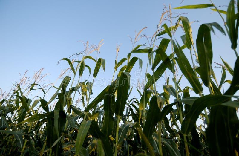 łodygi kukurydzy obraz stock