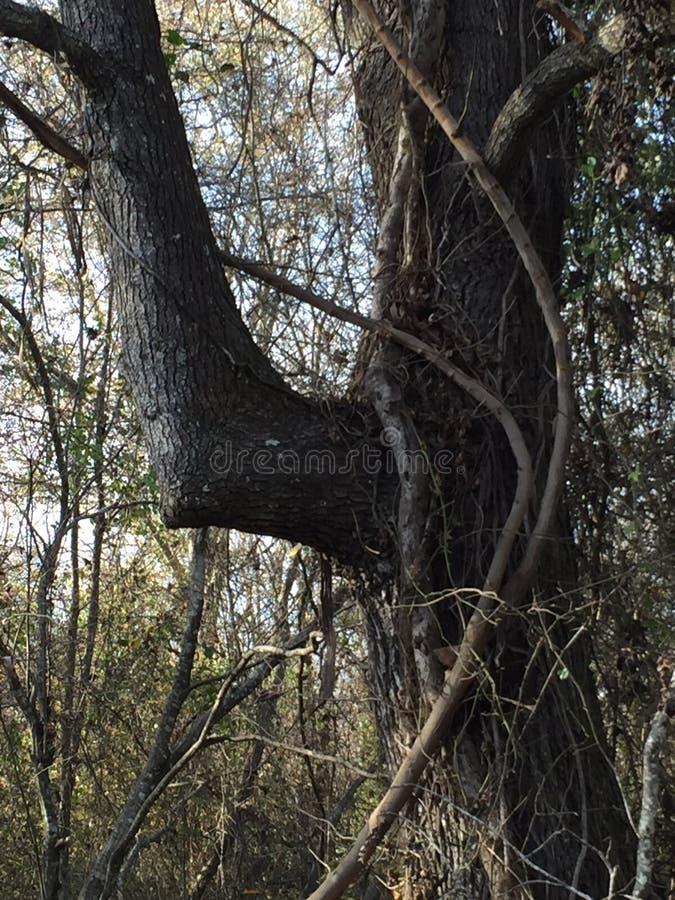 Łokcia drzewo zdjęcia royalty free