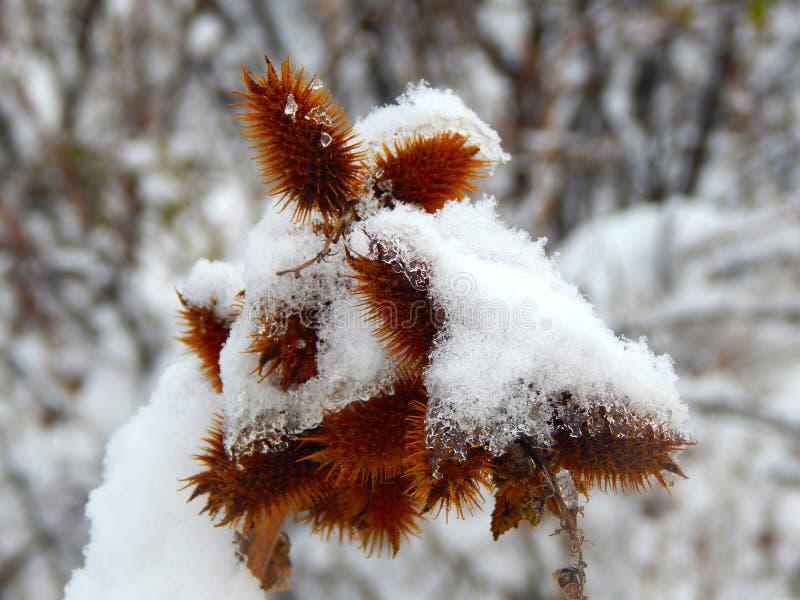 Łopian zakrywający z śniegiem i lodem zdjęcia royalty free