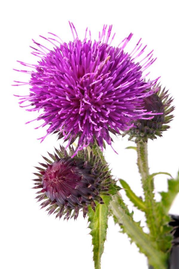 łopianowi kwiaty fotografia stock