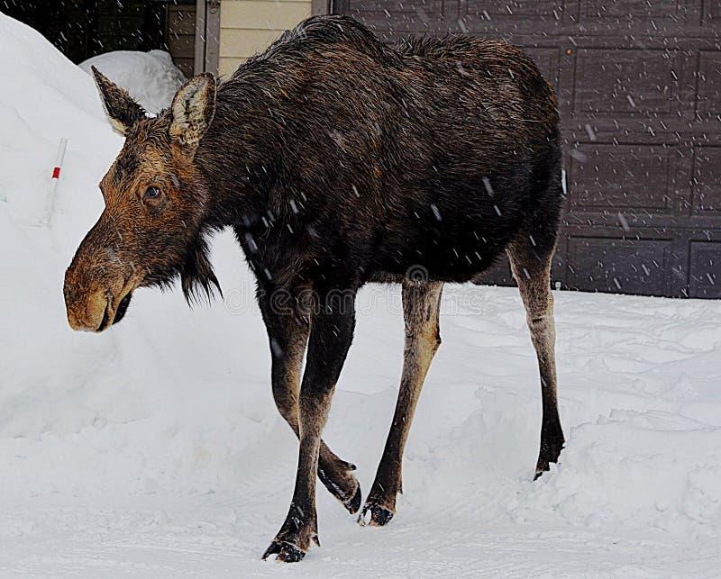 Łosiów amerykańskich spojrzenia dla jej łydki jako ona meandery wokoło miasteczka Jackson, Wyoming podczas wczesnej wiosny zdjęcie royalty free