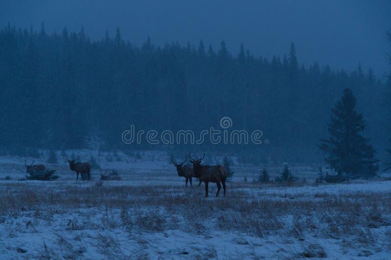 Łosie na zima ranku, Banff parka narodowego krajobraz obraz royalty free