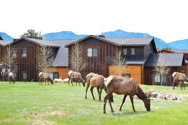 Łosie pasa na trawie w Estes parku zdjęcie stock
