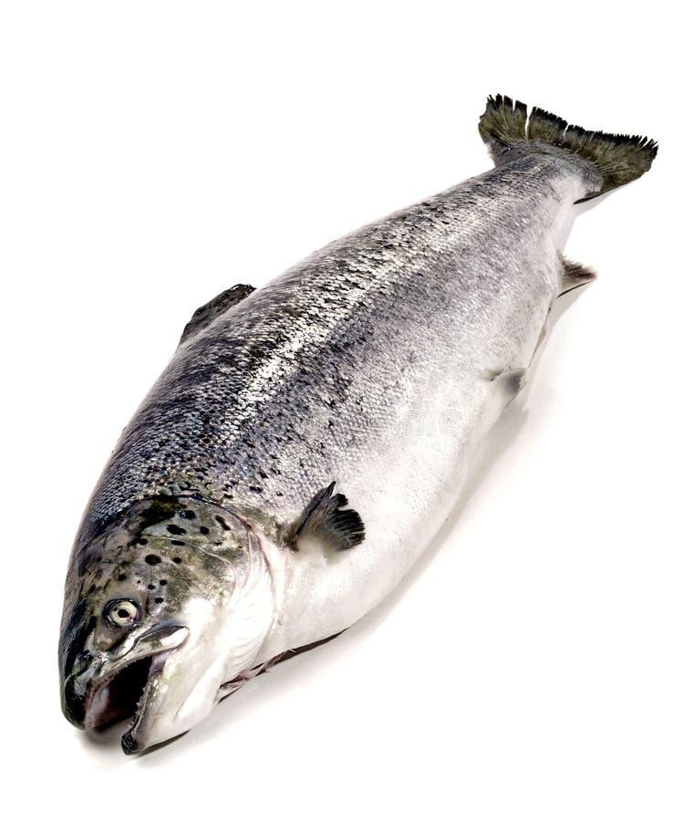 Łosoś - Cała ryba obraz royalty free